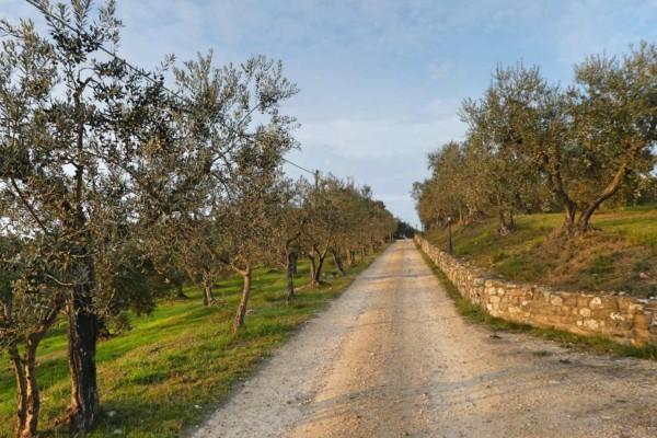 Weg durch Olivenbäume in Artimino